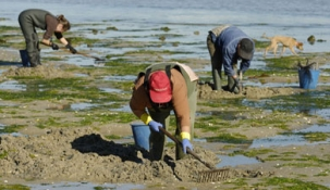 Pesca suspende la prohibición de extraer mejillones, almejas, ostras y muergos de las rías de San Vicente de la Barquera.