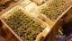 "Desmantelan otra plantación ""indoor"" de marihuana en Boo de Piélagos"