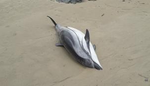 Reconducidos a mar abierta tres delfines varados para evitar su muerte