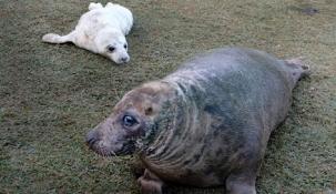 Nace una foca gris en el minizoo de la Magdalena
